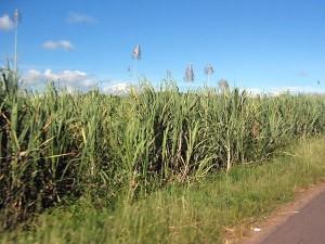 Сахарные плантации Бразилии